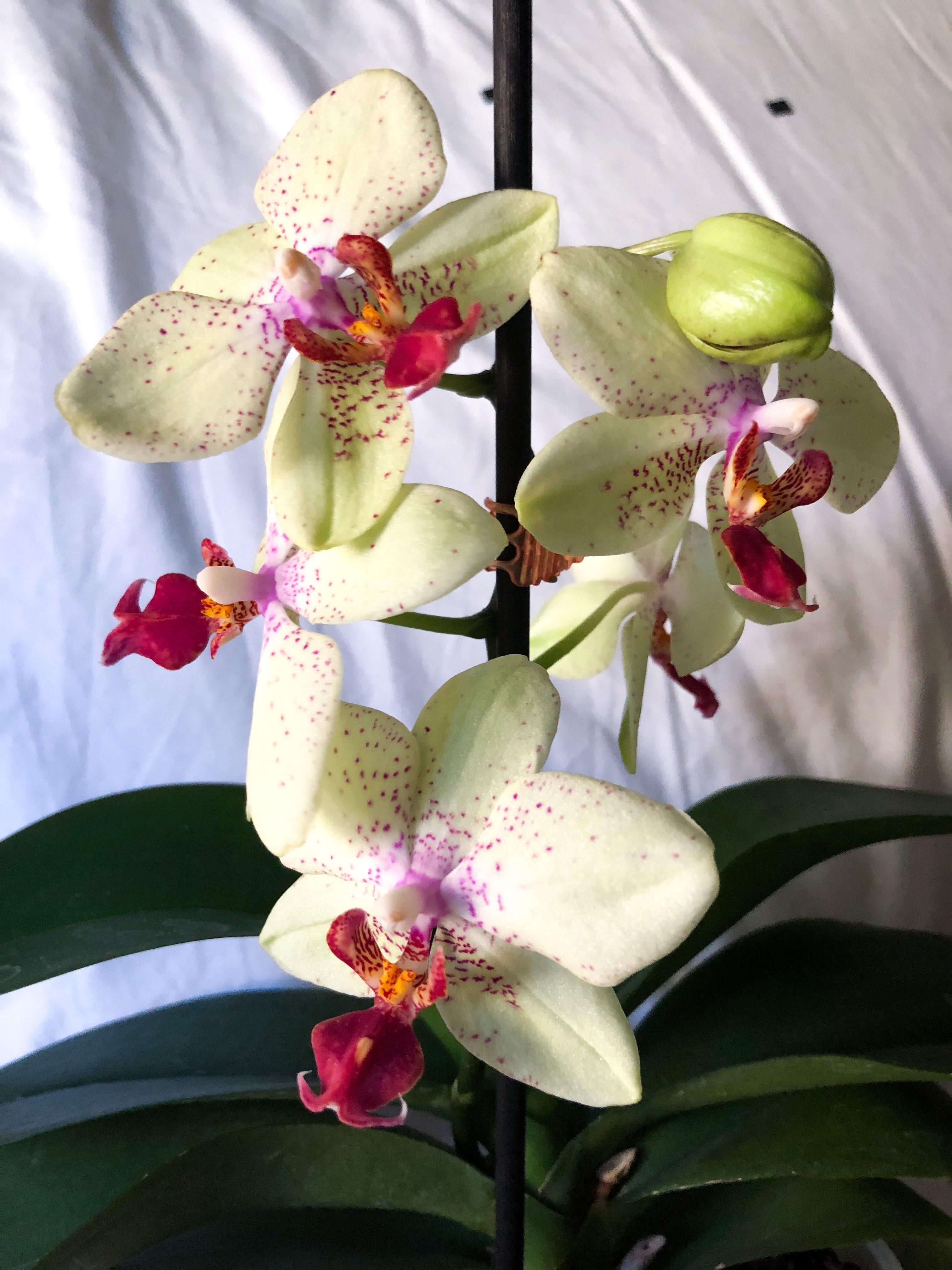 C3FB5A78 AFA4 493B A8B3 D2872D3F0DA5 - Full Metal Orchid