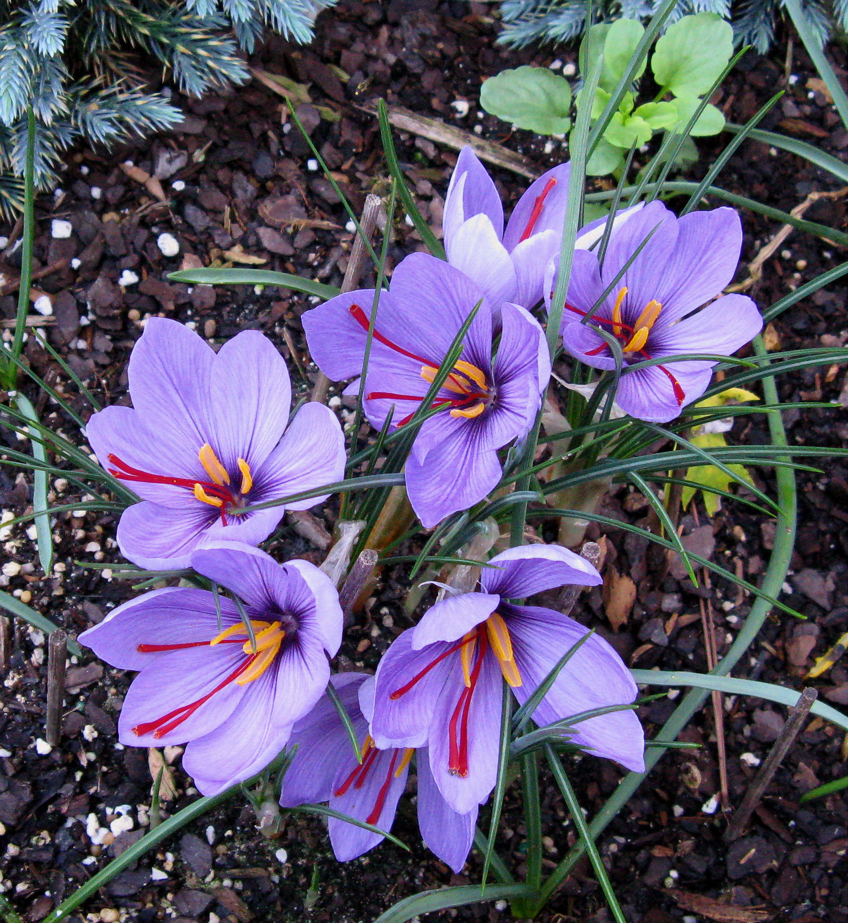 saffron flower - What could be a better way to start fall?